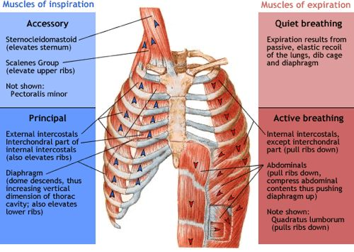 Accessory Breathing Muscles