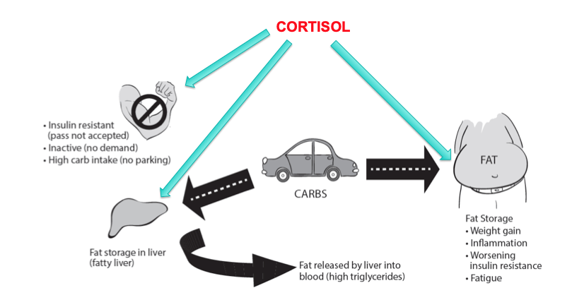 Cortisol impact on glucose